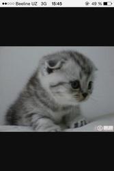Шатландкий вислоухый котенок нужен мне