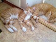 Отдам в хорошие и добрые руки котов - братьев 8 мес. Шустрик и Леон.