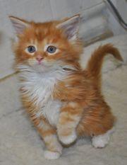 Красивые кошки мейн-кун с родословной!
