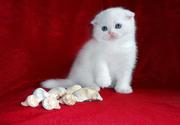 Шикарненькие Беленькие и Кремовые котятки Скоттиш фолд.