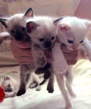 Котята сиамские- тайские