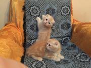 Карамельные котейки скоттиш-фолд