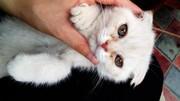 Очаровательные котята породы скотиш фолд готовы к продаже