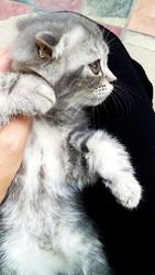 Очаровательные котята породы Скотиш Фолд ищут заботливую семью