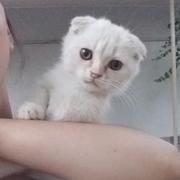 Игривый и очень ласковый котенок породы Скотиш Фолд